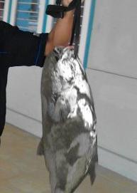 Ikan Camalan/Mamung Hasil Mancing