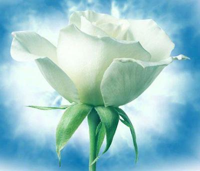 La rose blanche mickey 3d textes tout vent - Rose de noel blanche ...