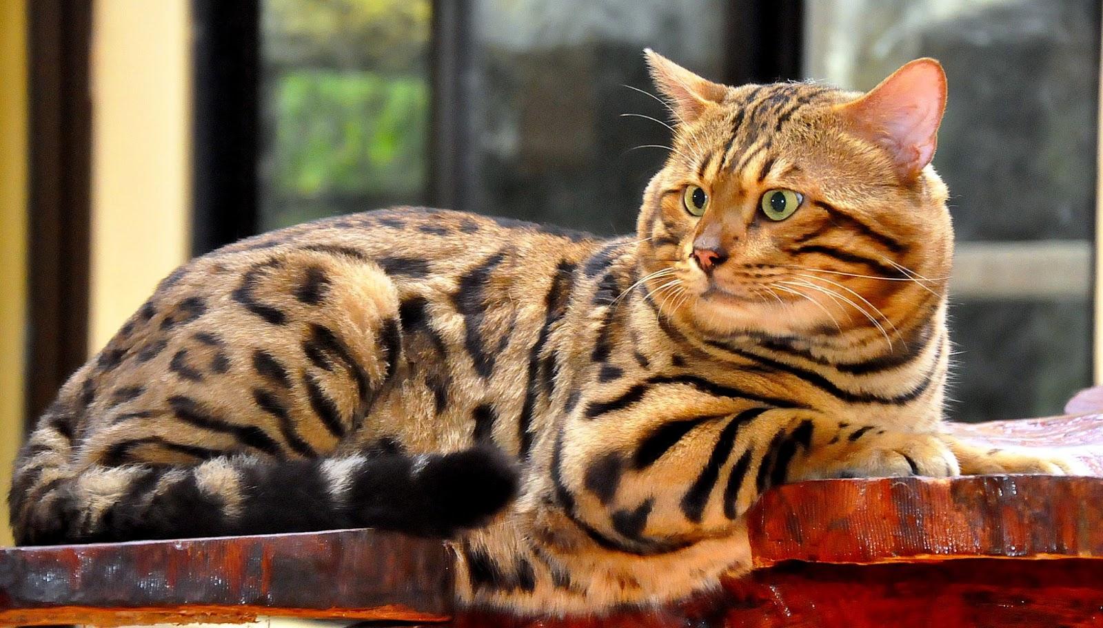Gambar Kucing Hutan godean.web.id