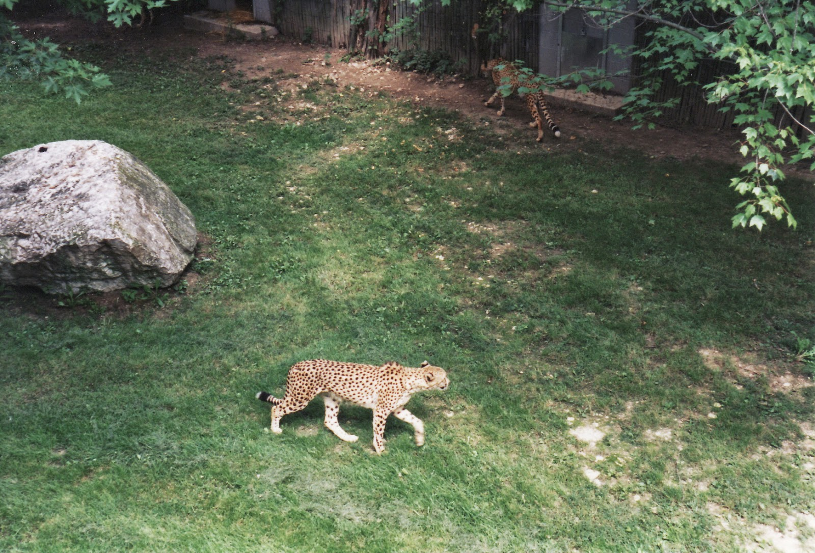 cheetah columbus zoo 1997