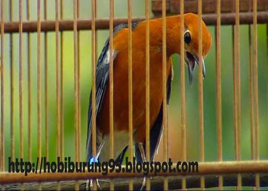 Tips Perawatan Burung Anis Merah Untuk Lomba