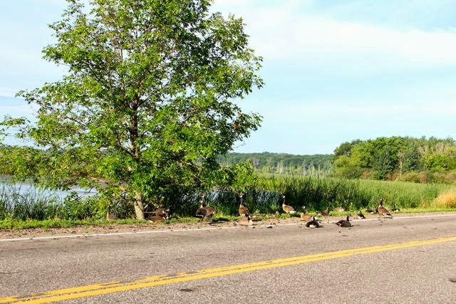 young geese resting in the road