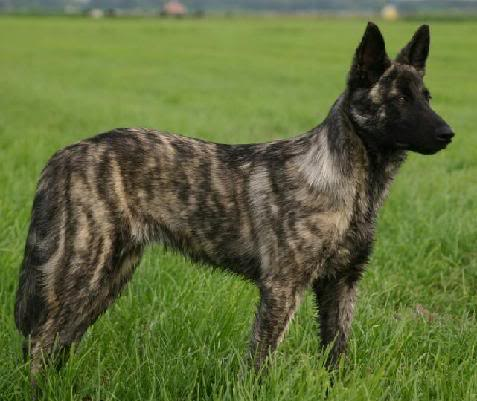 About Dog Dutch Shepherd