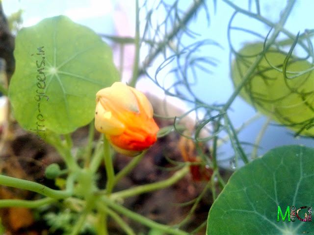 Metro Greens: Orange Nasturtium Bud