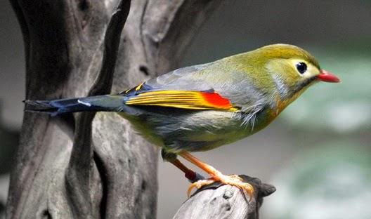 Download Mp3 Suara Masteran Burung Robin Gacor Asli Hutan