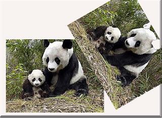 gambar_beruang_panda_raksasa