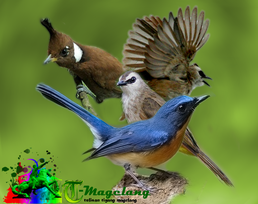 update mp3 suara burung cililin tledekan dan trucukan