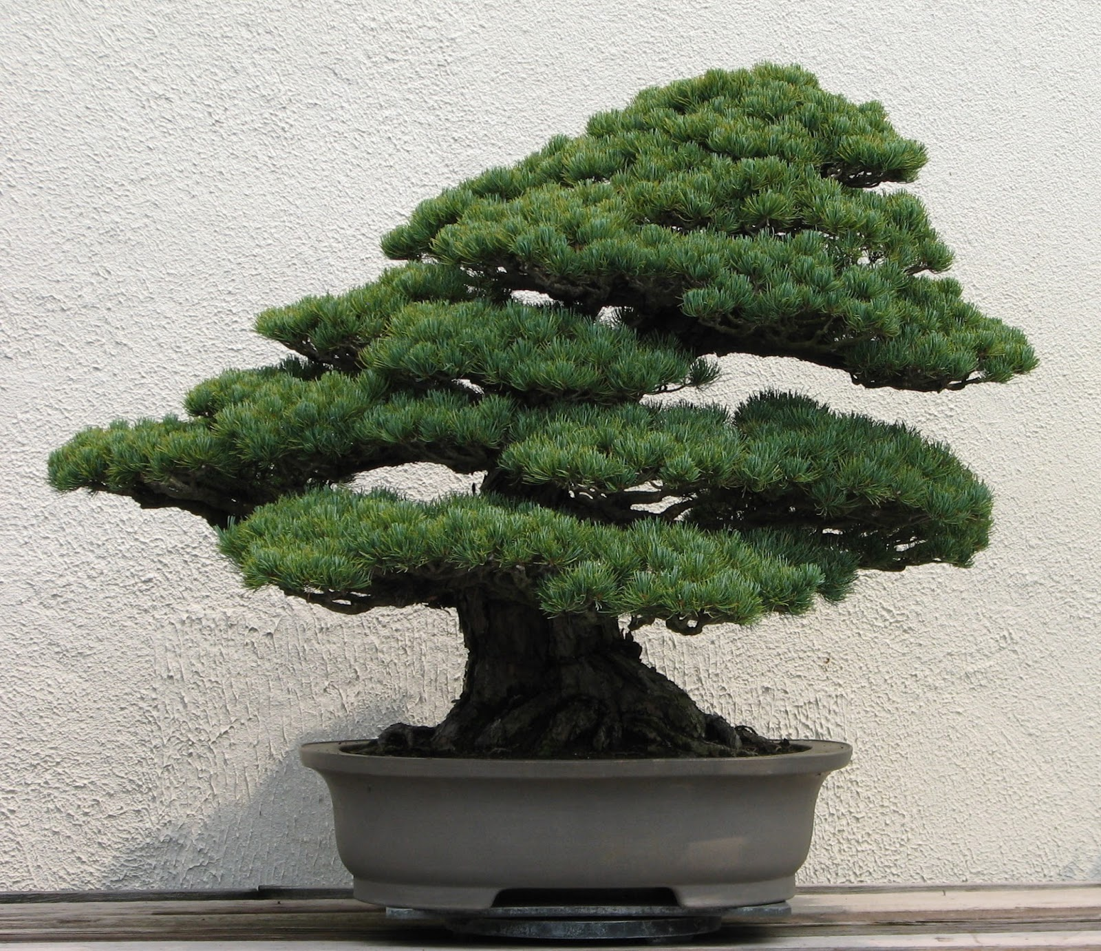 The Little Bonsai Bonsai Japanese White Pines