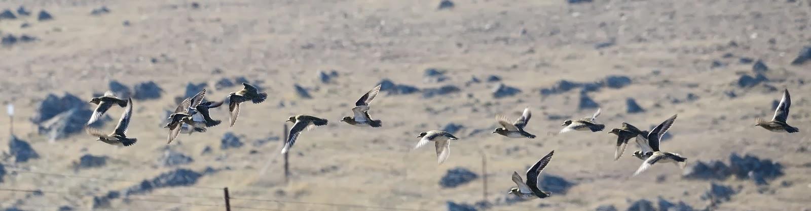 Excursión SEO/BirdLife a ZEPA del Alto Guadiato. Chorlito Dorado