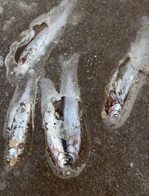 Kutip ikan sungai beku percuma
