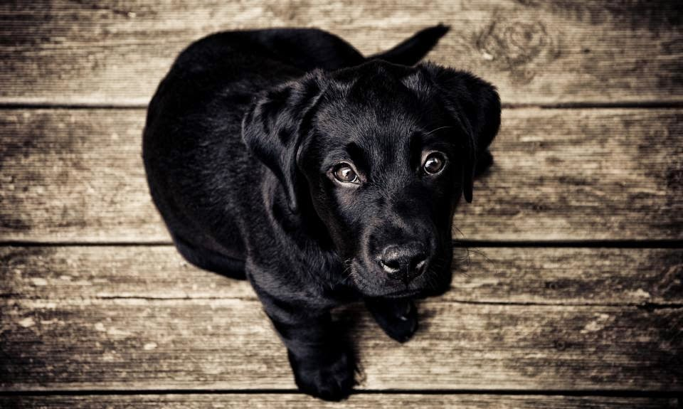 cutre-puppy-black-Labrador-dog