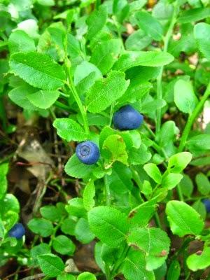Borówka Vaccinum myrtillus krzew