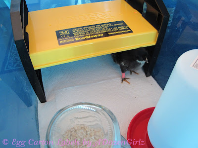 Baby chicks underneath the Brinsea EcoGlow 20 Brooder.