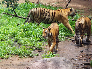 Female Bengal Tigress with grown up Cubs