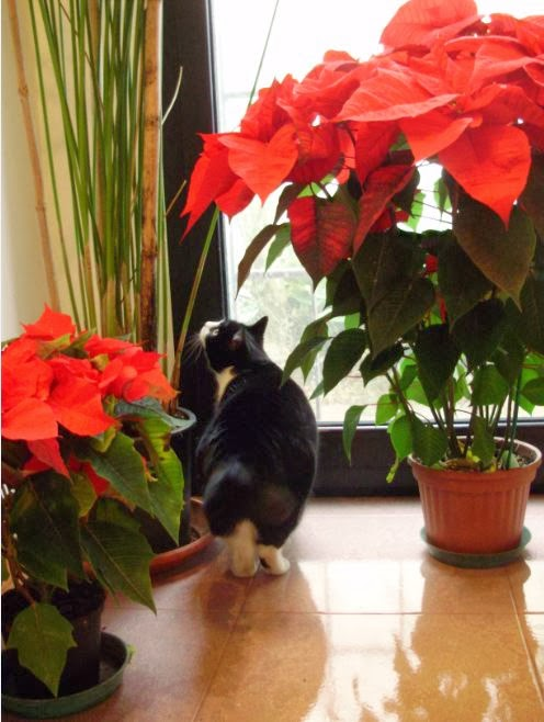 Rumore di fusa la stella di natale e altre piante d 39 appartamento tossiche per gli animali - Come tenere la stella di natale in casa ...