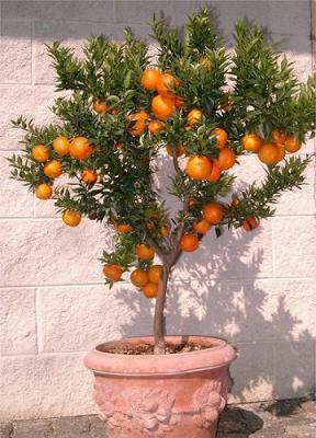 El blog de la elena un blog dulce divertido y - Plantar arboles frutales en macetas ...