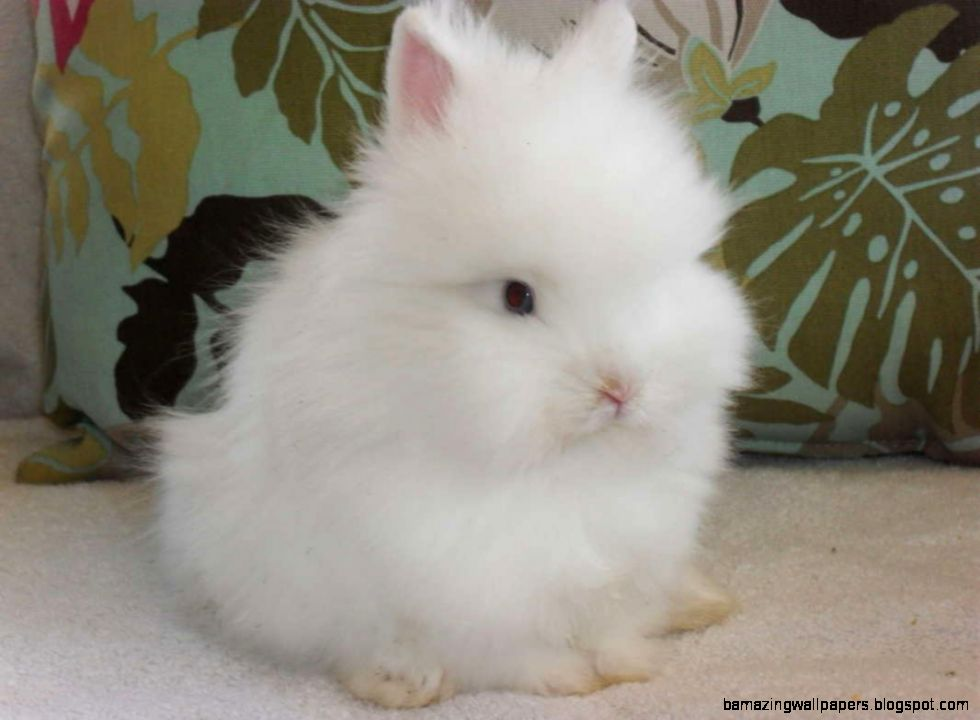 Lionhead bunnies for sale