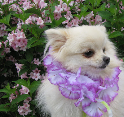 Pomeranian And The Flower