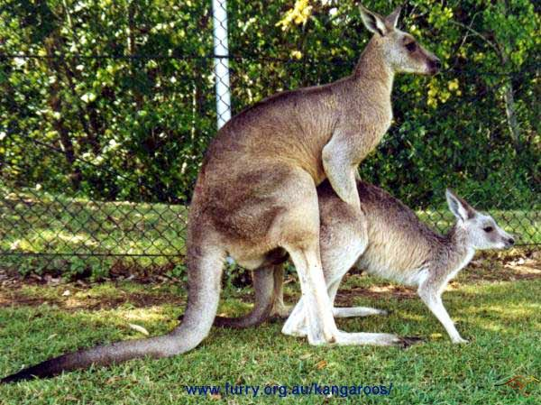 Kangroo having sex mating