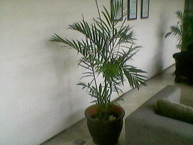Sewa palem comodoria atau palem bambu