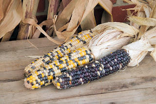 corn for the harvest