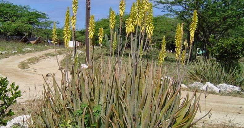 Aloe vera sant utilisation et culture de la plante aloe - Aloe vera culture ...