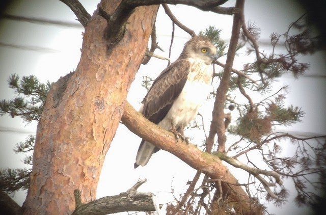 Short-toed Eagle - Morden Bog, Dorset (Paul Morton)