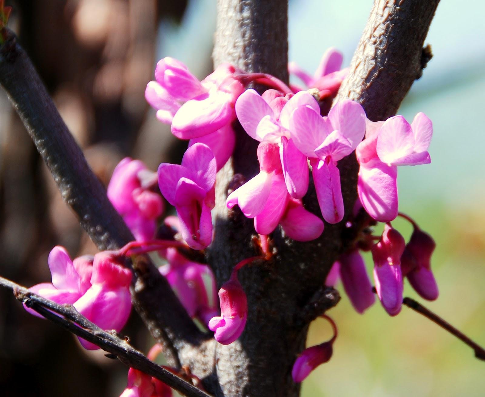 Il mondo in un giardino l 39 albero dalle foglie a cuore e for Pianta ornamentale con foglie rosse e verdi