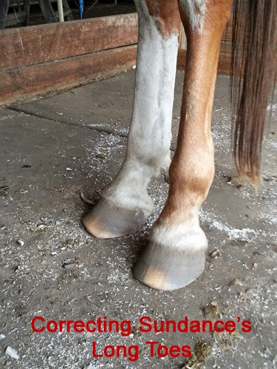 Correct long toe in horse hooves to prevent problems