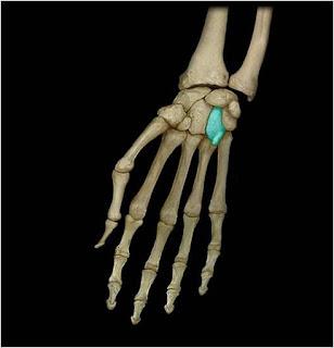 Крючковидная кость (os hamatum).