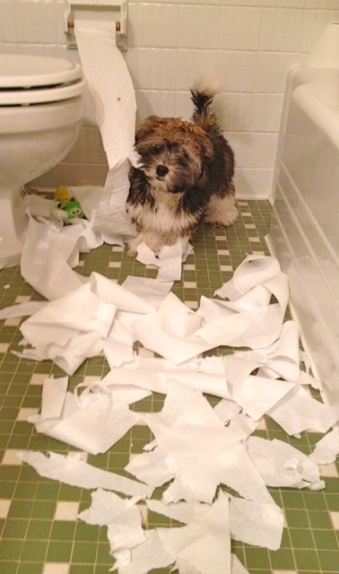 Rocco Havanese toilet paper shredding