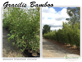 Gracilis bamboo from Bamboo Creations Victoria nursery