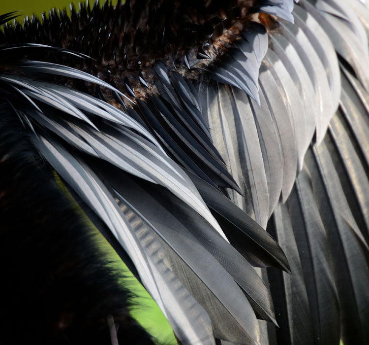 Close-up photo of an Anhinga's feathers. The small feathers on top look spiky because the muscles are holding them up on edge, to help them dry.