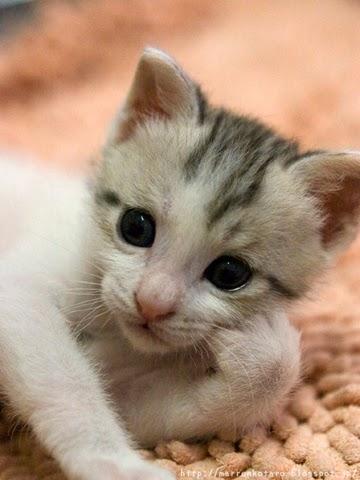 ひじを付いて横になる子猫のオヤジ画像