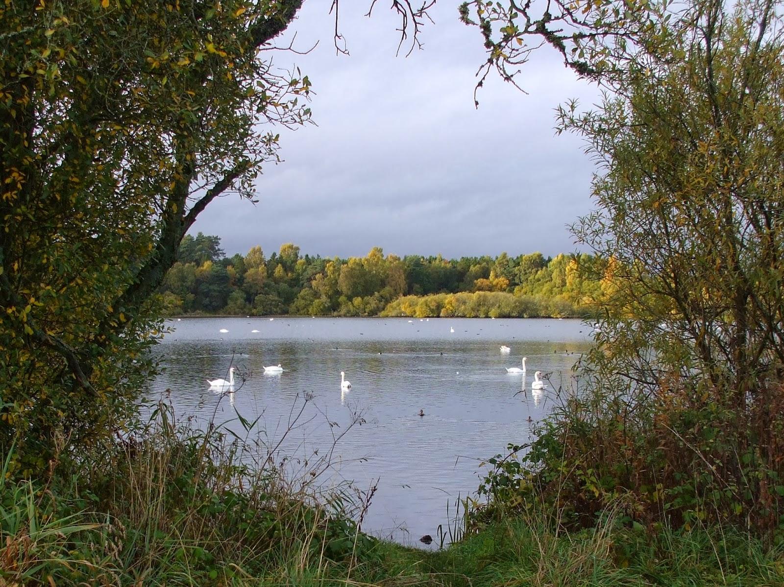 wild swans on stormont loch 25/10/13