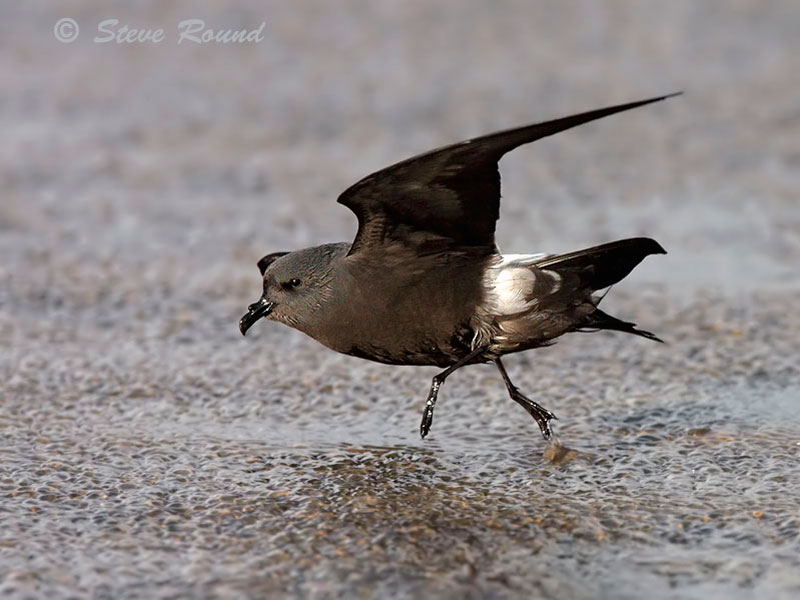 Leach's Storm Petrel, Sea bird, bird