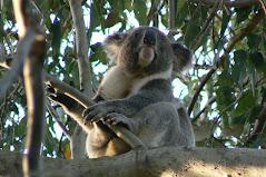 Koala at Marg and Ed's property