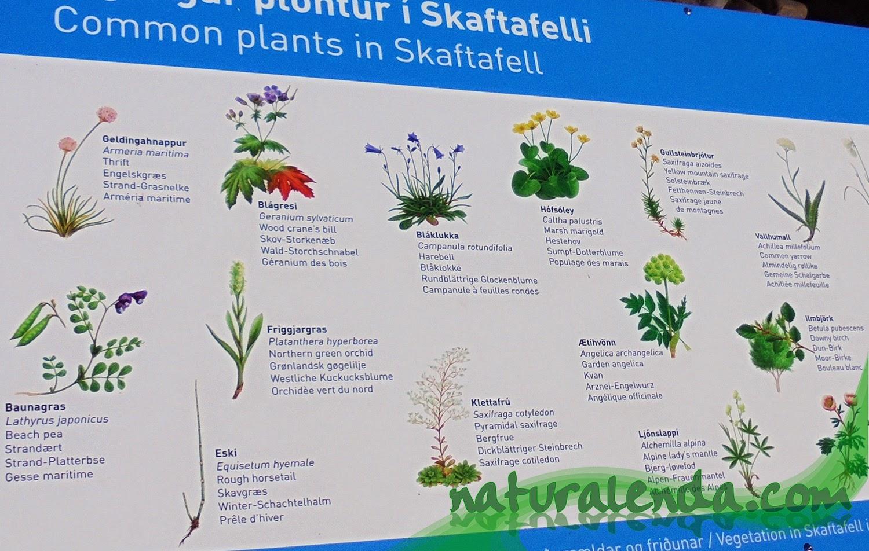 plantas comunes de skaftafell