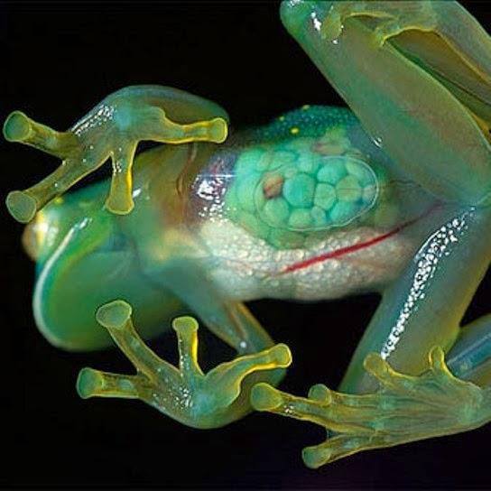 Ranas de cristal transparentes Centrolenidae