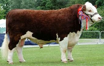 cara ternak sapi yg benar