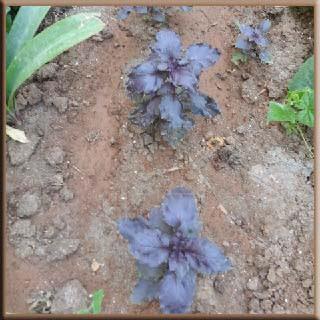 reyhan, yemek tarifi salata salad güzel baharat yaprak çiçek tohum bitki