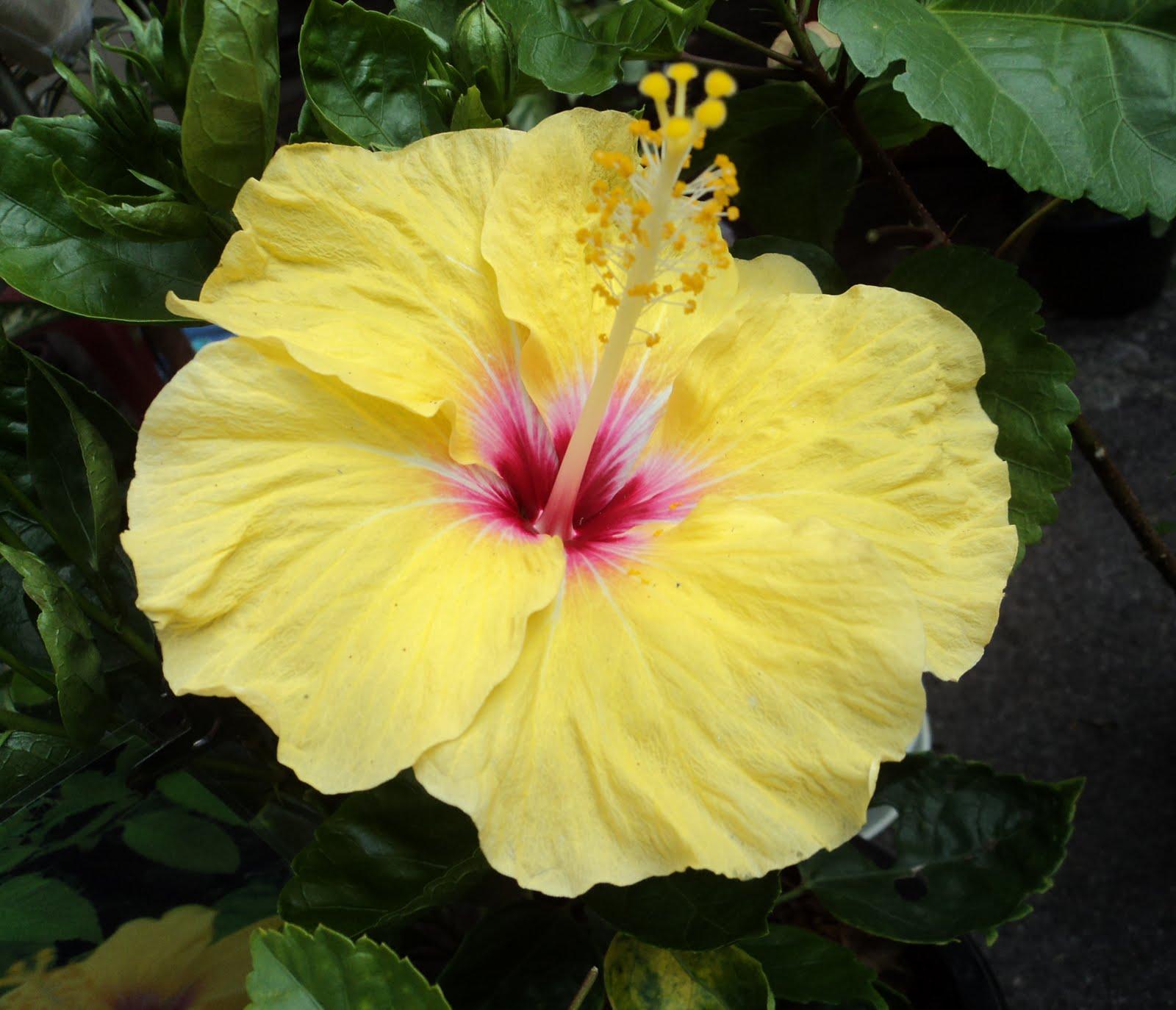 yellow hibiscus plant -#main