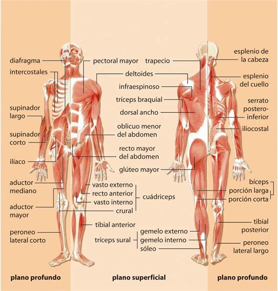 EDUCACIÓN FÍSICA Ana: Músculos y huesos