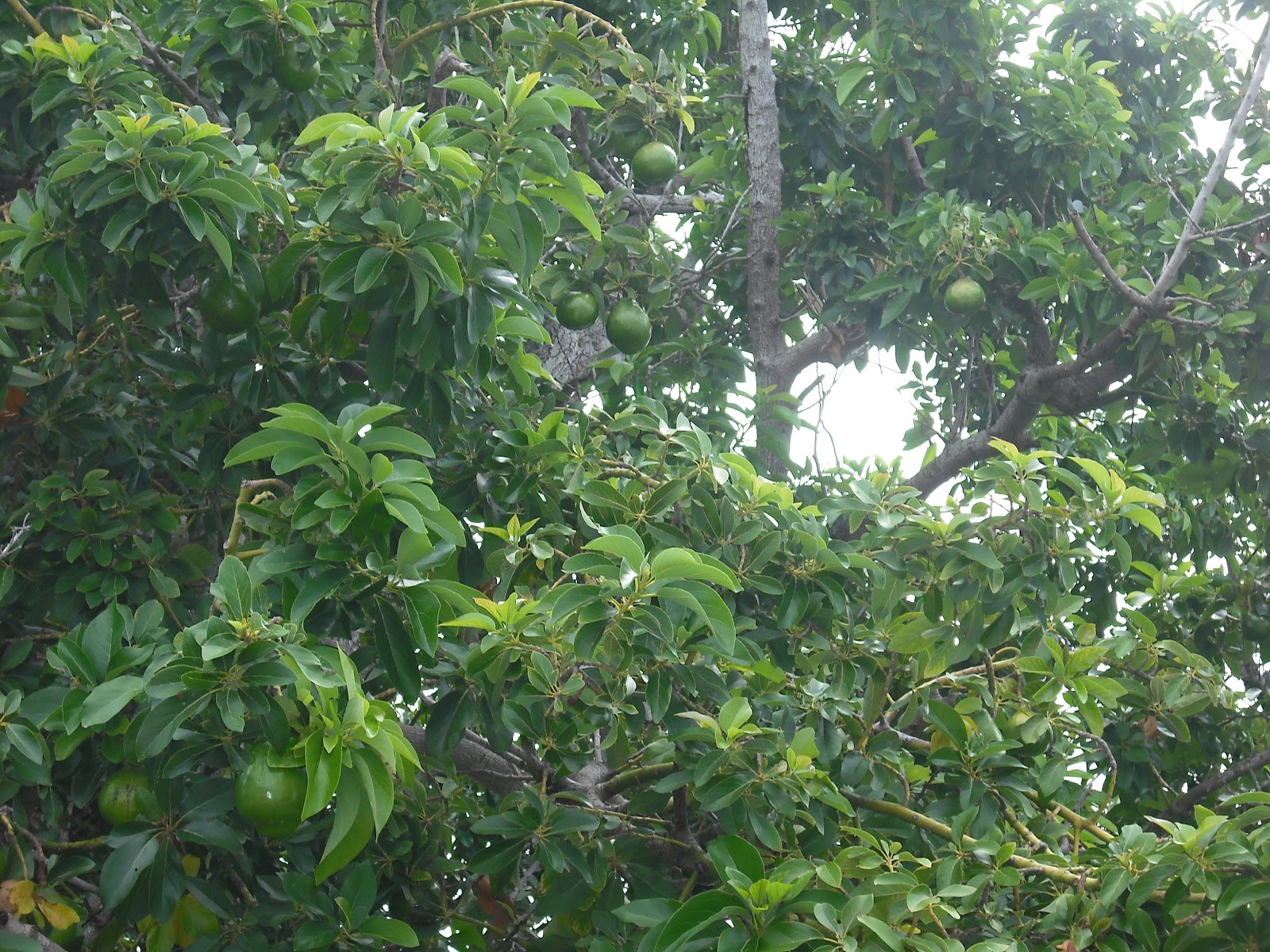 photos and images marketing avocado trees and avocados grown in bermuda. Black Bedroom Furniture Sets. Home Design Ideas