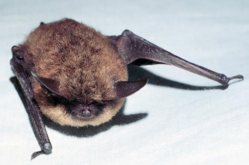 Little brown bat - photo#12