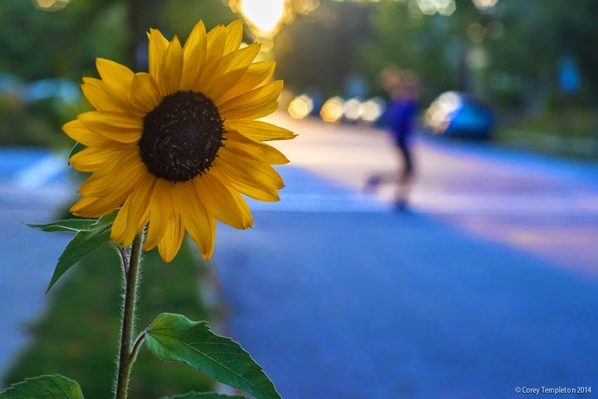 Sunflower on West Street in the West End of Portland, Maine. September 2014. Photo by Corey Templeton.