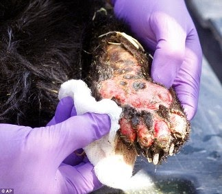 Dog Paws On Hot Pavement Veterinarian