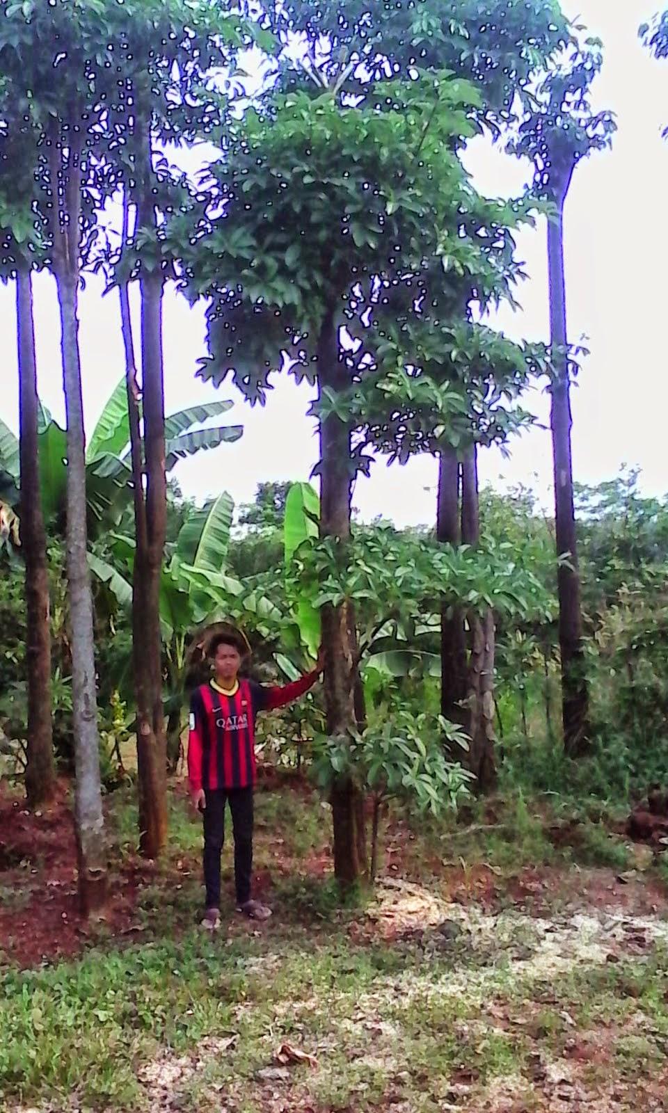pohon pule 3