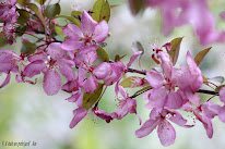 PRUNUS MALUS du jard'Ain
