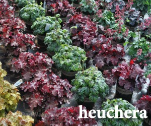 The grass rhizome shade tolerant perennials and ground covers heuchera also called coral bells have 100s of new hybrid varieties that have been developed over the last decade almost too many mightylinksfo